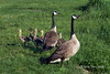 Canada goose family, near Sandstone, MN