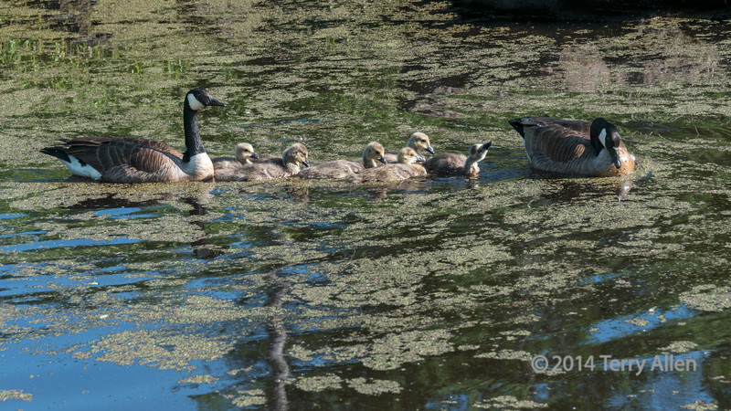Canada goose family in duck weed, near Sandstone, MN