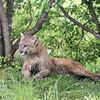 Muddy cougar
