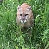 Vigilent cougar, Sandstone, MN