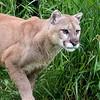 Cougar close-up