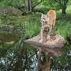 Reflected cougar, Sandstone, MN