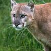Portrait of a cougar, Sandstone, MN