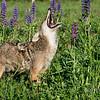 Coyote with a beautiful set of teeth, near Sandstone, Minnesota