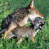 """Play time<br /> <br /> Coyote and pup, near Sandstone, MN<br /> <br /> The last of the coyote and pup series can be seen here: <a href=""""http://goo.gl/aUBL0M"""">http://goo.gl/aUBL0M</a><br /> <br /> 06/09/14  <a href=""""http://www.allenfotowild.com"""">http://www.allenfotowild.com</a>"""