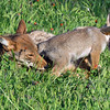 """Female coyote and pup at play<br /> <br /> I like the back leg drapped over the pup's neck.<br /> <br /> Other photos of the coyote and pup can be seen here: <a href=""""http://goo.gl/lScXnG"""">http://goo.gl/lScXnG</a> <br /> <br /> 23/08/14  <a href=""""http://www.allenfotowild.com"""">http://www.allenfotowild.com</a>"""