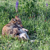 Time out for play, coyote and pup near Sandstone, MN
