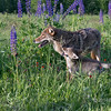 Iteractions between coyote and pup, near Sandstone, MN