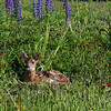 Fawn hunkered down in a wildflower meadow, near Sandstone, MN