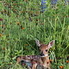 "Fawn lying in a wildflower meadow (best larger)<br /> <br /> Other photos from around Sandstone, MN can be seen here: <a href=""http://goo.gl/6qAu8l"">http://goo.gl/6qAu8l</a><br /> <br /> 31/07/14  <a href=""http://www.allenfotowild.com"">http://www.allenfotowild.com</a>"