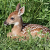 Fawn resting in the grass, near Sandstone, MN