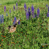 Wildflower meadow with fawn, near Sandstone, MN (best larger)