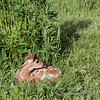 Fawn lying in the grass, near Sandstone, Minnesota