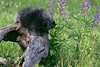 Porcupine eating a lupine leaf, near Sandstone, Minnesota