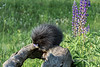 Young porcupine eating a lupine blossom, near Sandstone, MN