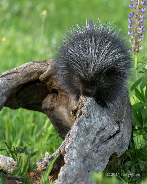 Young porcupine and lupine, near Sandstone, Minnesota