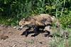 Female red fox and kit near den, Sandstone area, MN