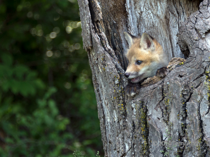 "Its a big world out there!<br /> <br /> Fox kit peeking out of a hole in a dead tree, near Sandstone, MN<br /> <br /> Other wildlife photos can be seen here: <a href=""http://goo.gl/FY1Bgt"">http://goo.gl/FY1Bgt</a><br /> <br /> 27/07/14  <a href=""http://www.allenfotowild.com"">http://www.allenfotowild.com</a>"
