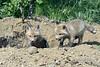 Pair of fox kits by a den, near Sandstone, MN