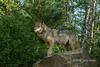 Beautiful female gray wolf posing on a rock, near Sandstone, MN