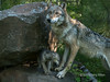 """Gray wolf and cub catching a light beam, near Sandstone, MN<br /> <br /> Other wolf photos, including a cute one of the adult playing with a cub, can be seen here: <a href=""""http://goo.gl/Dbxlv2"""">http://goo.gl/Dbxlv2</a><br /> <br /> 18/05/14  <a href=""""http://www.allenfotowild.com"""">http://www.allenfotowild.com</a>"""