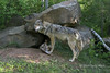 Gray wolf playing with cub outside den, near Sandstone, MN