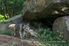 Gray wolf cub, with adult entering den, near Sandstone, MN
