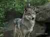 Female gray wolf near den, Sandstone area, MN