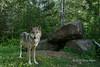 Female gray wolf by den, near Sandstone, MN