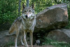 Gray wolf and cub at den, near Sandstone, MN<br /> <br /> Notice the little guy peeking out of the den.