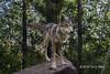 Female gray wolf standing on a rock, near Sandstone, MN