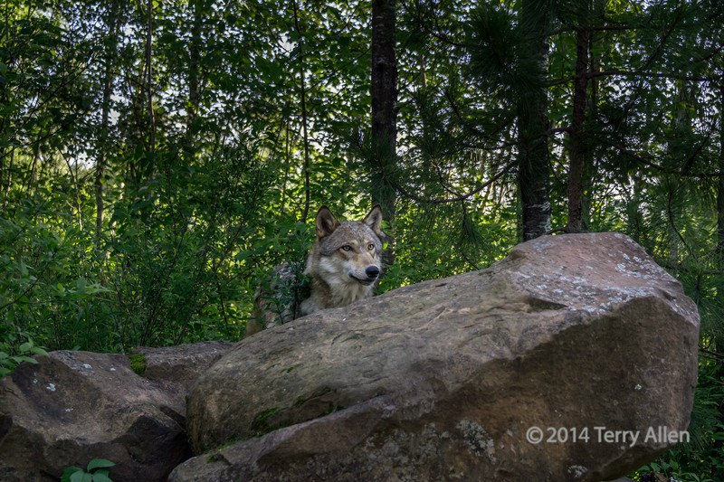 Female gray wolf watching near den, Sandstone area, MN (best larger)