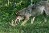 Female gray wolf playing with cub, near Sandstone, MN (best larger)<br /> <br /> Although it may look scary, this really was play and the cub was not harmed in any way.