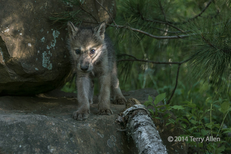 Wolf cub in a sunbeam, near Sandstone, MN