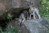 Wolf cubs near den, Sandstone area, MN
