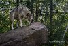 Alert female gray wolf, near Sandstone, MN (best larger)