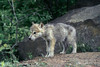 Young wolf cub outside den, near Sandstone, MN