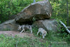 Pair of wolf cubs by a den, near Sandstone, MN