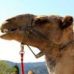 Virginia City Camel Races – Video Episode 67