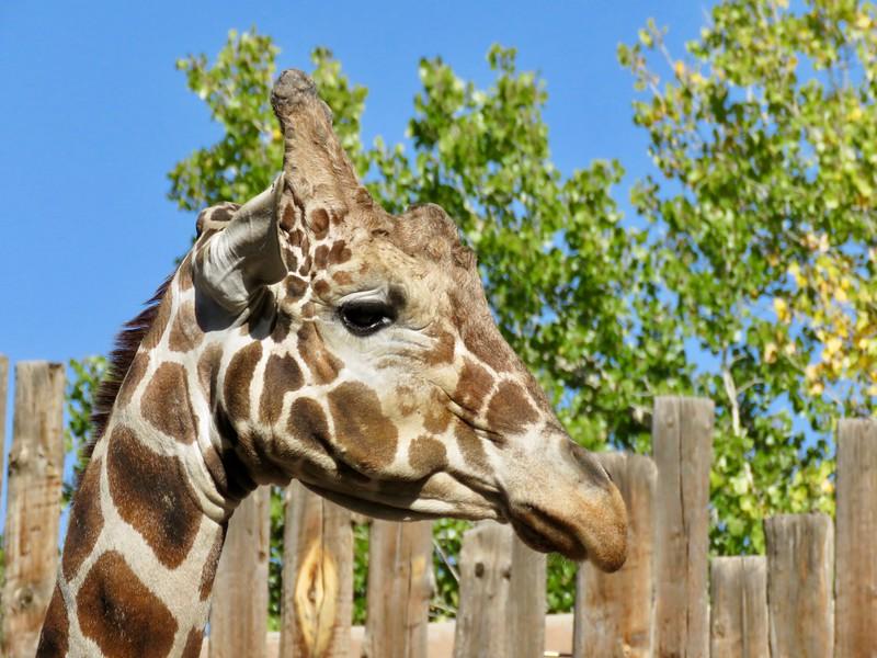 giraffe - Albuquerque Biological Park
