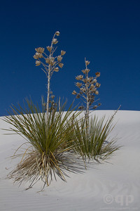 SAND DUNES PLANTS