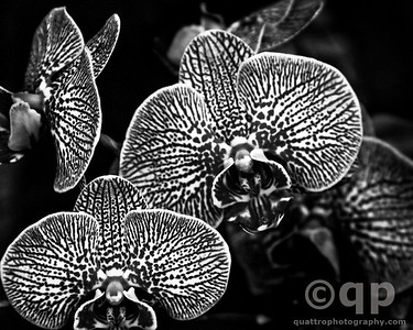 STRIPED ORCHID