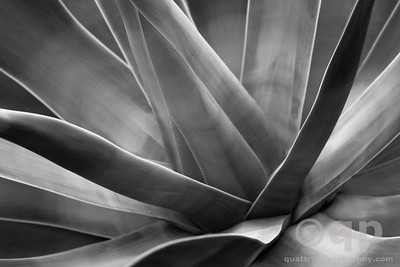 AGAVE BLACK AND WHITE