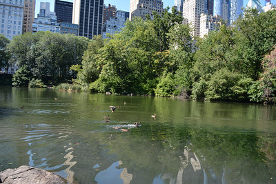 Ducks taking a dip in a lake in Central Park 2