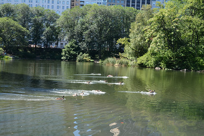 Ducks taking a dip in a lake in Central Park