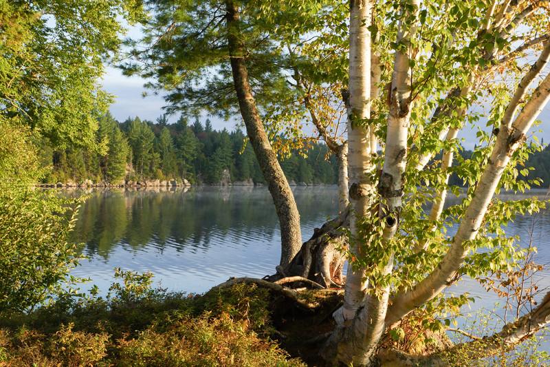 Birches on Sagamore Lake