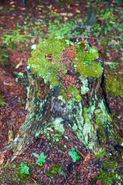 Stump, Camp Pine Knot