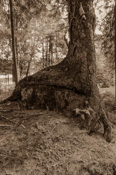 Tree Growing on Rock, Camp Uncas