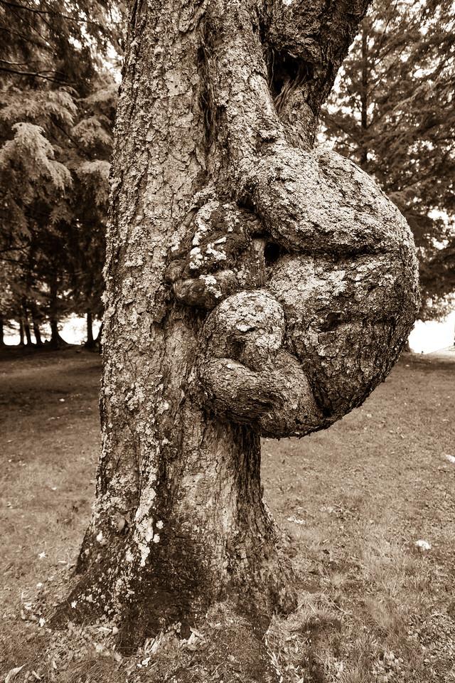 Burl on Tree, Camp Pine Knot