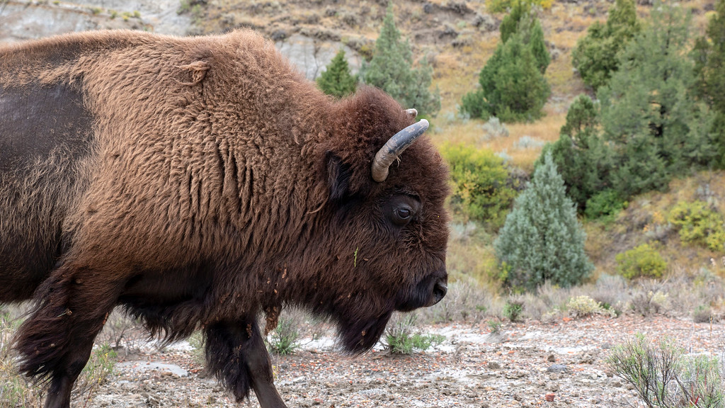 Bison / buffalo at Theodore Roosevelt National Park - what to see in North Dakota - North Dakota road trip